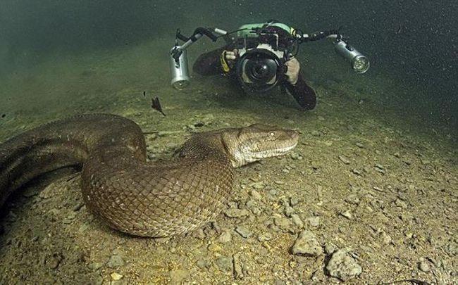 Фото - Ви не повірите: дайвінг з анакондою!