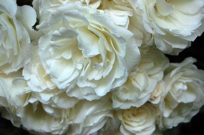 бачити уві сні білі троянди