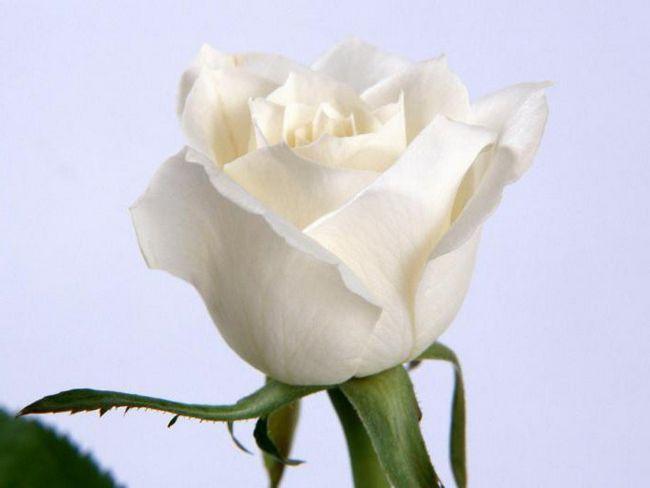 букет білих троянд уві сні