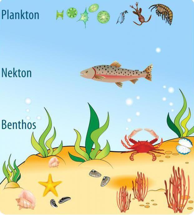 Фото - Бентос - це Планктон, нектон, бентос