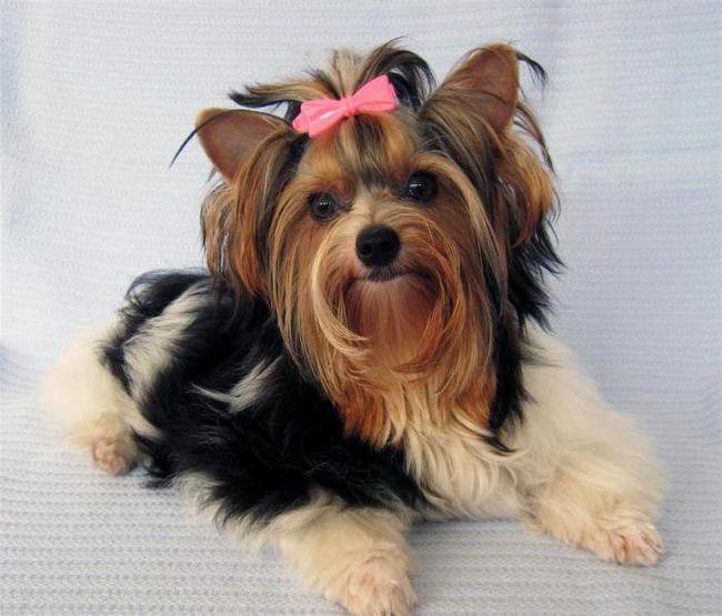 Фото - Бівер-йоркширський тер'єр: опис породи. Кращий собака для дитини