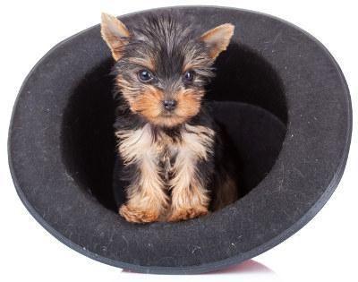 порода собак йоркширський тер'єр