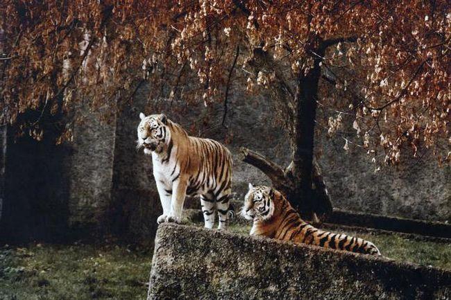 білий тигр уві сні