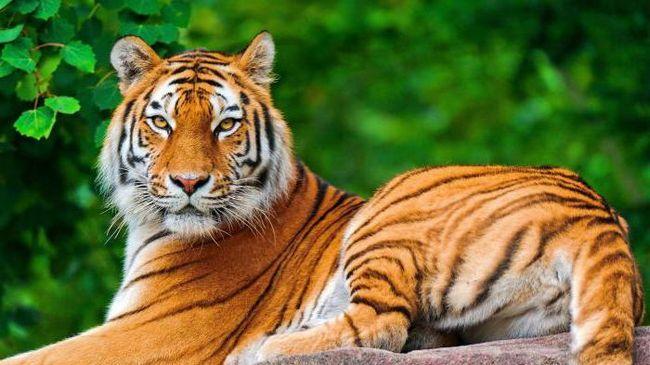 тигр уві сні