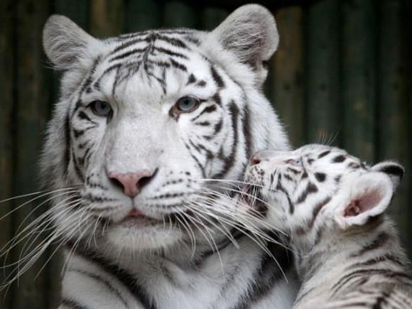 побачити уві сні тигра