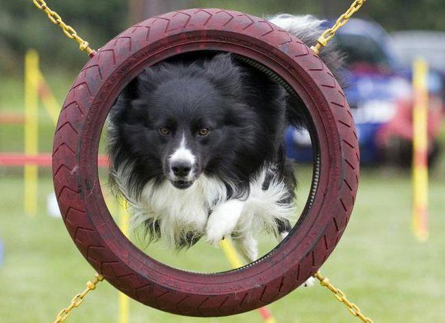 Фото - Що таке аджилити? Аджилити для собак в росії: правила змагання, снаряди, траси