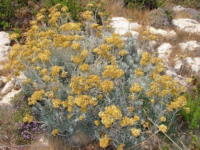 Фото - Цмин пісковий: опис рослини, застосування в народній медицині