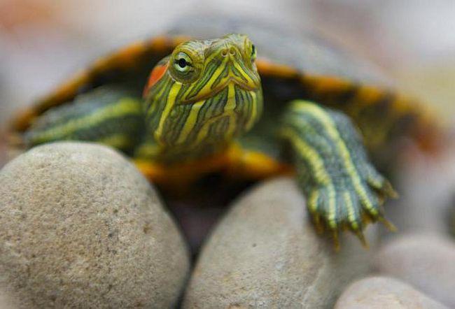 червоновуха декоративна черепаха догляд в домашніх умовах