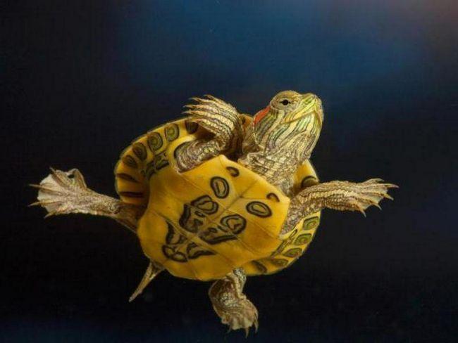 чи бувають червоновухі черепахи декоративними
