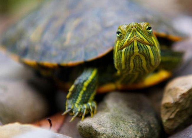 як відрізнити красноухую черепаху від декоративної
