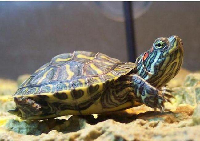 скільки може не їсти червоновуха декоративна черепаха