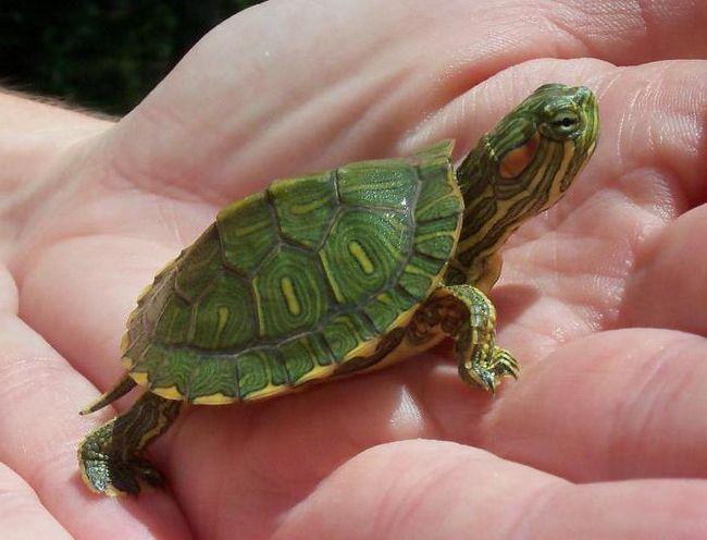 Фото - Декоративна червоновуха черепаха: особливості догляду
