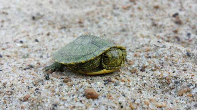 декоративна червоновуха черепаха догляд