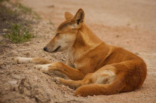 Фото - Дикі собаки: фото. Яка сама дика порода собак?