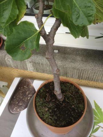 Фото - Інжир: вирощування в домашніх умовах. Інжир з насіння. Вирощування у відкритому грунті, догляд