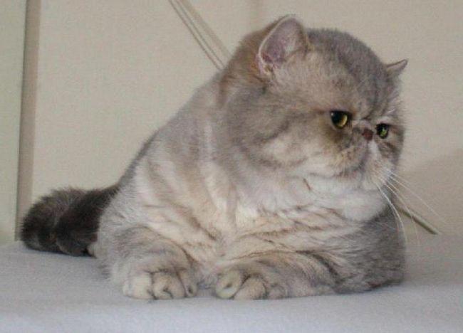 Фото - Екзот - кіт з великими очима і плескатої мордою. Опис породи, фото