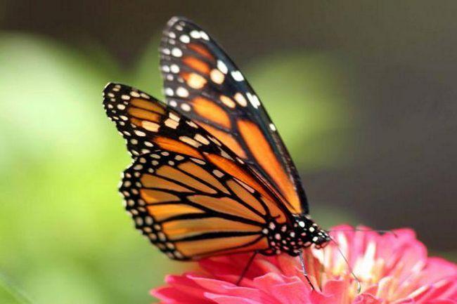 Фото - Як харчуються метелики: що їдять в дикій природі і в домашніх умовах?
