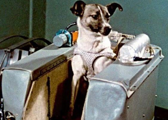 лайка перший собака космонавт виведена на орбіту землі