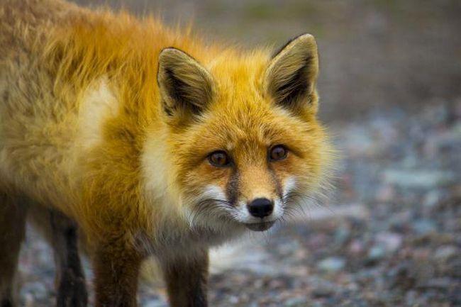 Фото - Як спіймати лисицю: способи