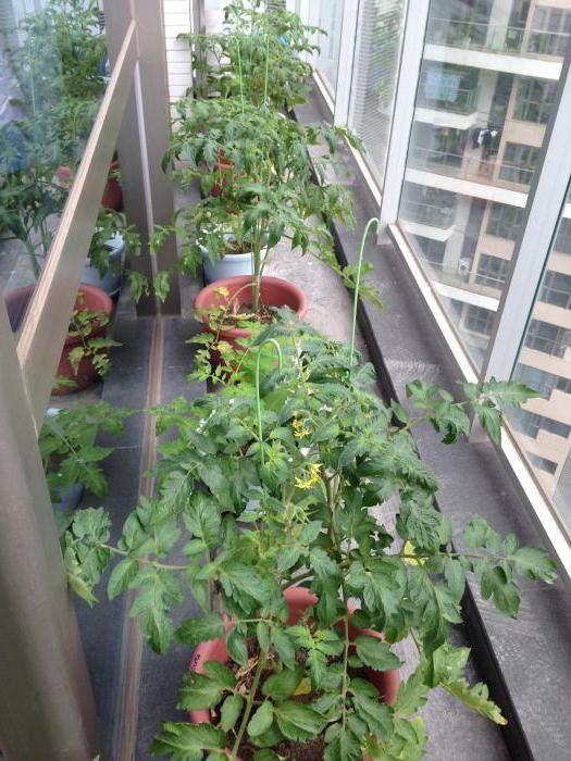 яку температуру витримує розсада помідор в теплиці з полікарбонату