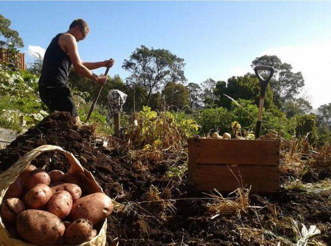 Фото - Картопля: строки збирання в ленінградської області та в подмосковье. Терміни збирання ранньої картоплі. Як визначити строки збирання картоплі?