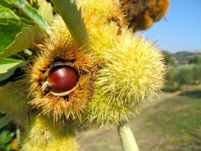 каштановий мед користь і шкода