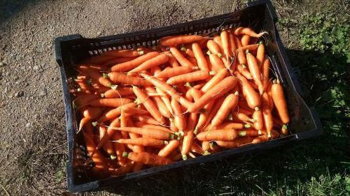 коли прибирати буряк і моркву з грядки