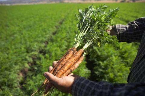 коли прибирати морква на зиму з грядки