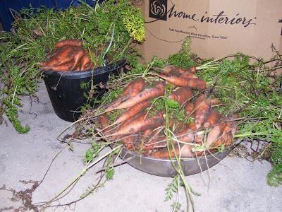 коли прибирати морква з грядки на зберігання