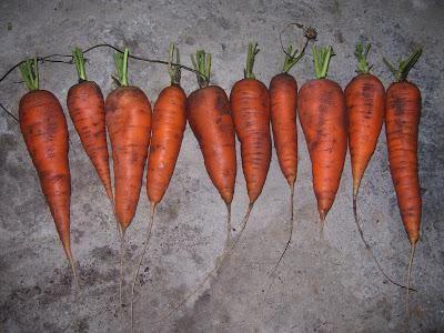 коли можна прибирати морква з грядки