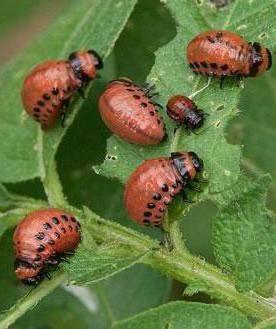 Фото - Колорадський жук: личинки. Боротьба з колорадськими жуками