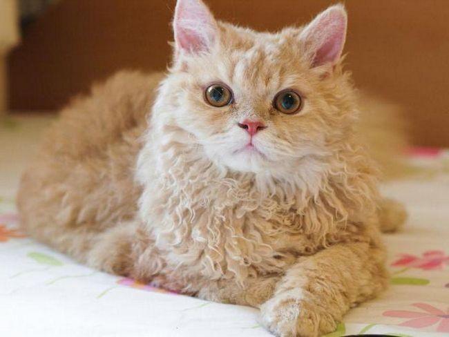Фото - Кішки породи селкирк-рекс: опис, характер, догляд