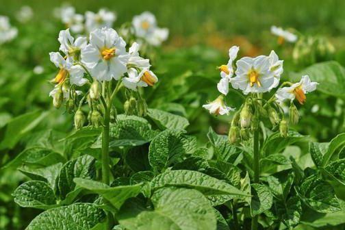 Фото - Лікувальні властивості квіток картоплі. Протипоказання в застосуванні квіток картоплі