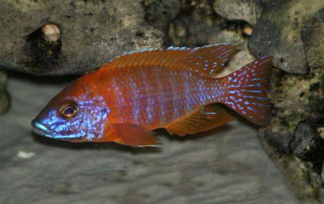 види малавійських цихлід