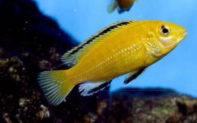 цихліди акваріумні