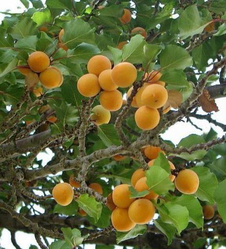 Фото - Маска для обличчя з абрикосів. Рецепти абрикосовою маски