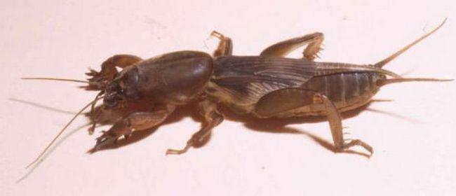 Фото - Народне лікування капустянками: захворювання, особливості застосування та відгуки