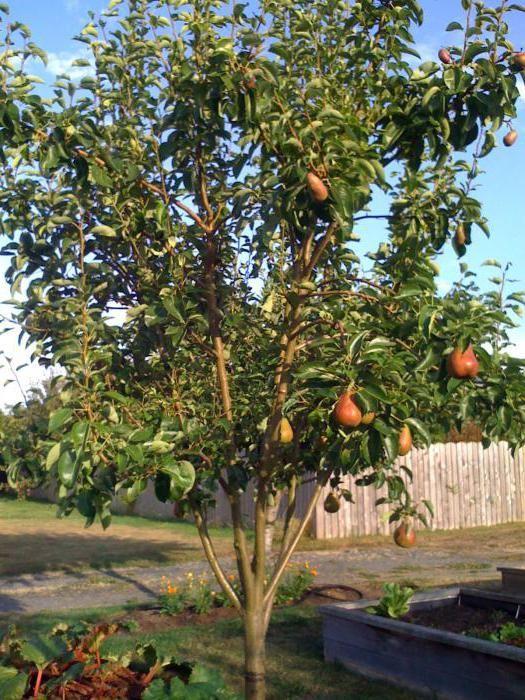 осіння груша Велеса