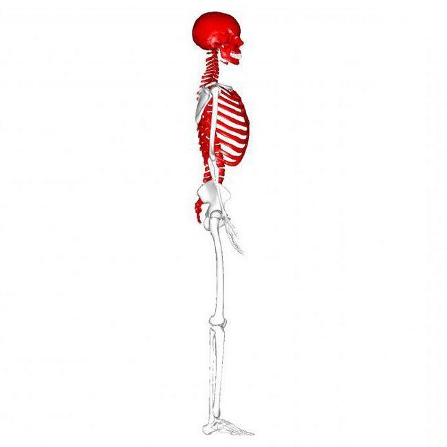 осьової і додатковий скелет