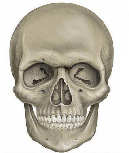 відділи осьового скелета