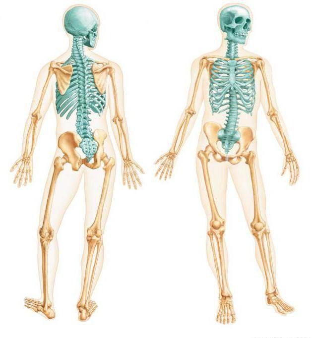 Фото - Осьовий скелет. Кістки осьового скелета
