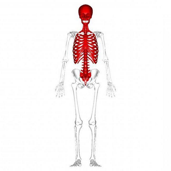 осьовий скелет