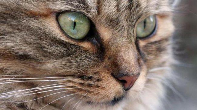 годування кастрованих котів і стерилізованих кішок