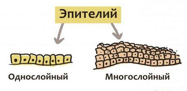 Фото - Особливості будови епітеліальної тканини. Характеристика епітеліальних тканин