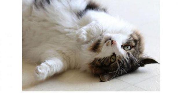 Фото - Отруєння у кота: рятуємо вихованця