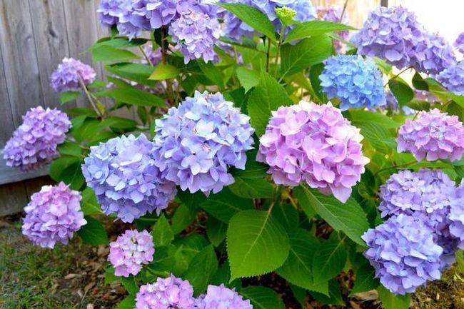 Фото - Чому не цвітуть гортензії на вулиці і в домашніх умовах?