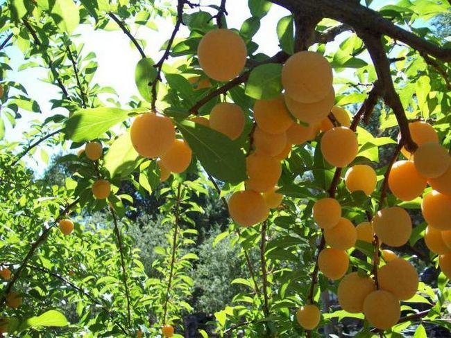 Фото - Корисні властивості і калорійність сливи жовтої