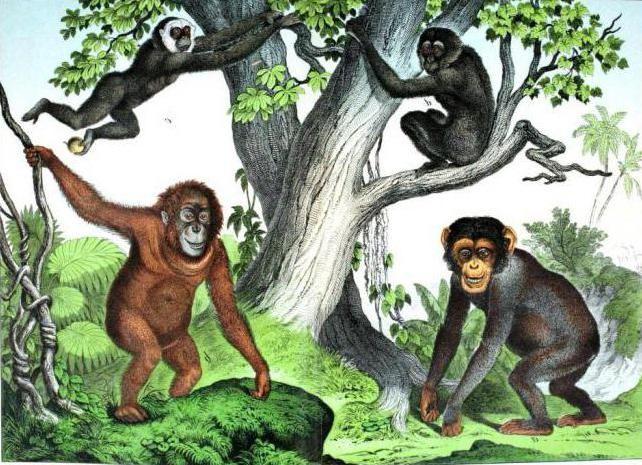 Фото - Примати - це що за сімейство? Загін приматів і їх еволюція