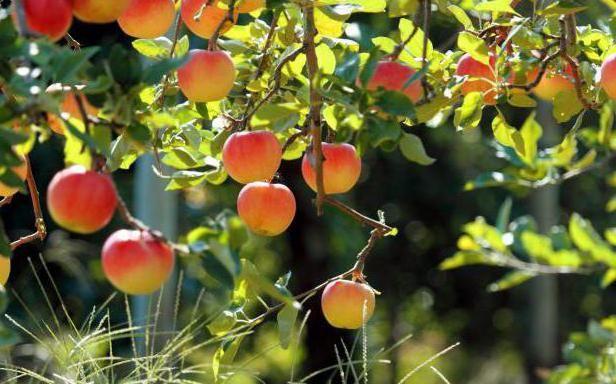 Фото - Щеплення яблунь в серпні держаком та іншими способами