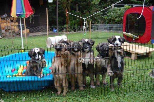 Фото - Щеплення собакам за віком: таблиця щорічних щеплень